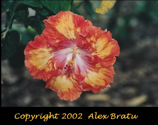 Flame-Colored Hibiscus